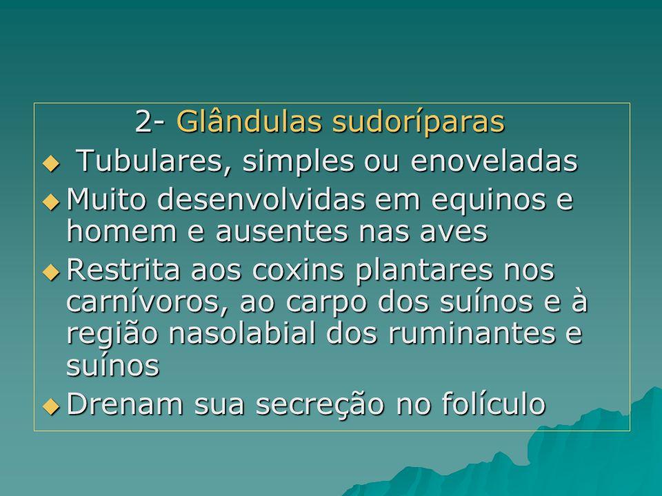 2- Glândulas sudoríparas 2- Glândulas sudoríparas  Tubulares, simples ou enoveladas  Muito desenvolvidas em equinos e homem e ausentes nas aves  Re
