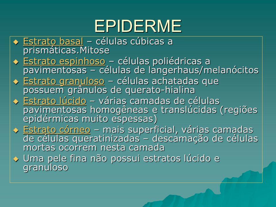 EPIDERME  Estrato basal – células cúbicas a prismáticas.Mitose  Estrato espinhoso – células poliédricas a pavimentosas – células de langerhaus/melan