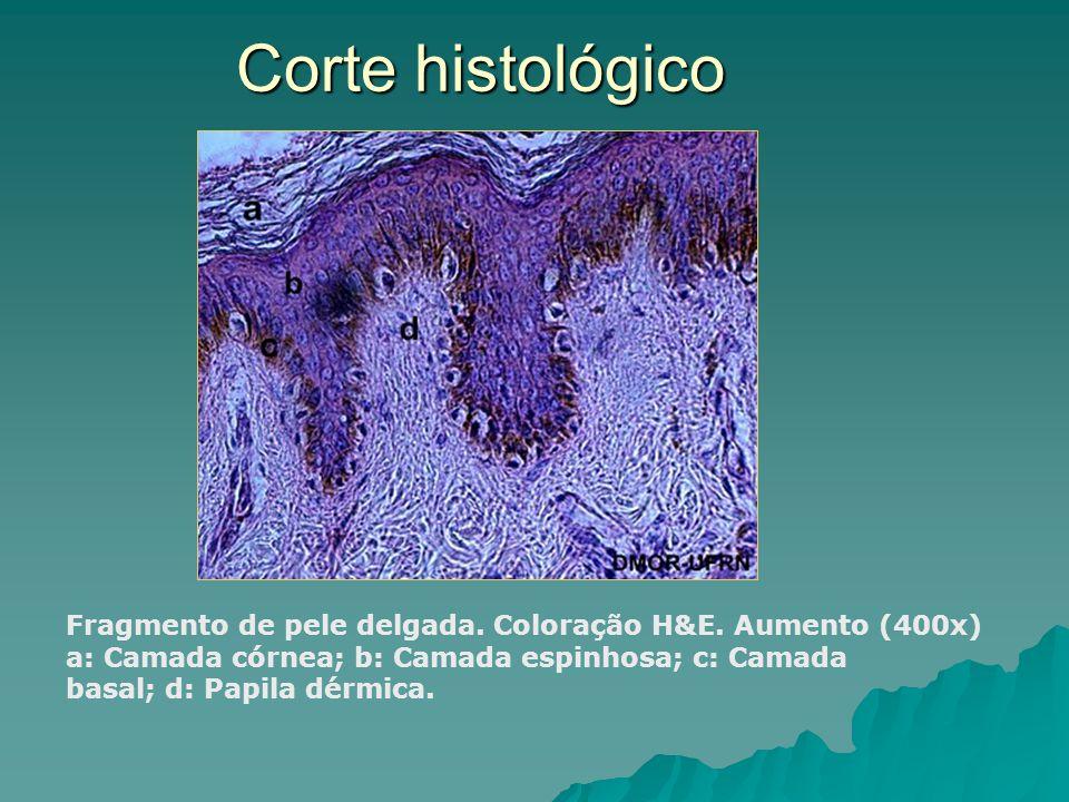 Corte histológico Fragmento de pele delgada. Coloração H&E. Aumento (400x) a: Camada córnea; b: Camada espinhosa; c: Camada basal; d: Papila dérmica.