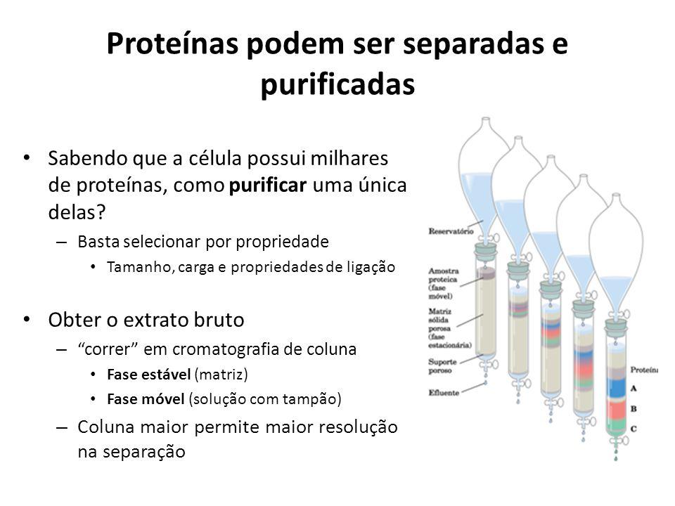Proteínas podem ser separadas e purificadas Sabendo que a célula possui milhares de proteínas, como purificar uma única delas? – Basta selecionar por