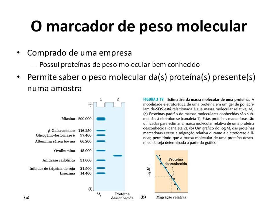 O marcador de peso molecular Comprado de uma empresa – Possui proteínas de peso molecular bem conhecido Permite saber o peso molecular da(s) proteína(