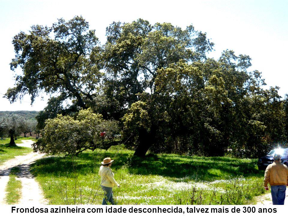 Frondosa azinheira com idade desconhecida, talvez mais de 300 anos