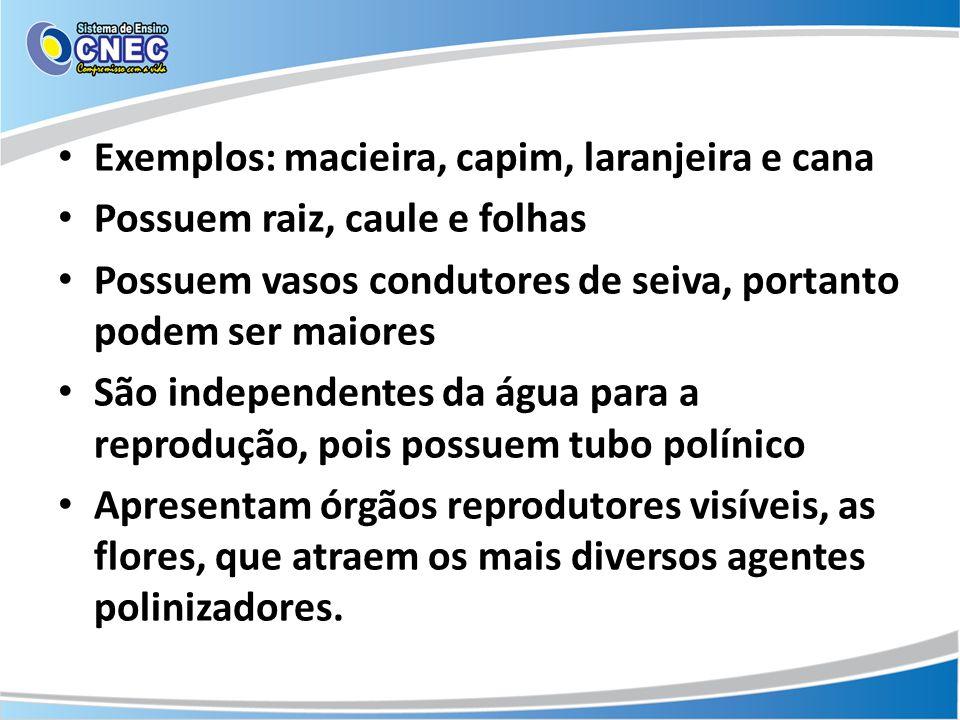 Exemplos: macieira, capim, laranjeira e cana Possuem raiz, caule e folhas Possuem vasos condutores de seiva, portanto podem ser maiores São independen