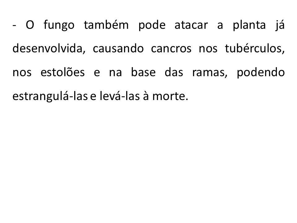 - O fungo também pode atacar a planta já desenvolvida, causando cancros nos tubérculos, nos estolões e na base das ramas, podendo estrangulá-las e lev