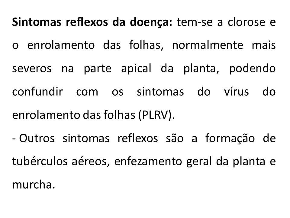 Sintomas reflexos da doença: tem-se a clorose e o enrolamento das folhas, normalmente mais severos na parte apical da planta, podendo confundir com os