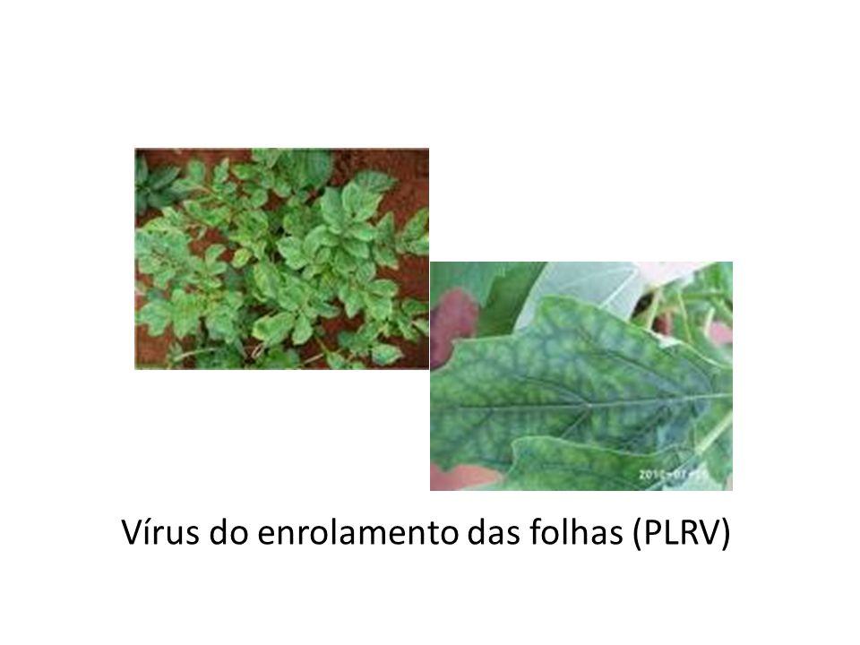 Vírus do enrolamento das folhas (PLRV)