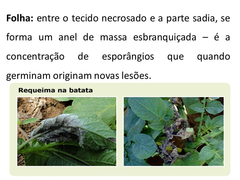 Folha: entre o tecido necrosado e a parte sadia, se forma um anel de massa esbranquiçada – é a concentração de esporângios que quando germinam origina