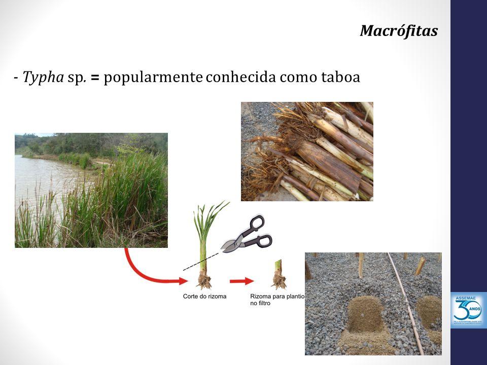 - Typha sp. = popularmente conhecida como taboa Macrófitas
