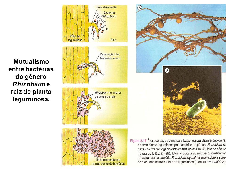 Mutualismo entre bactérias do gênero Rhizobium e raiz de planta leguminosa.