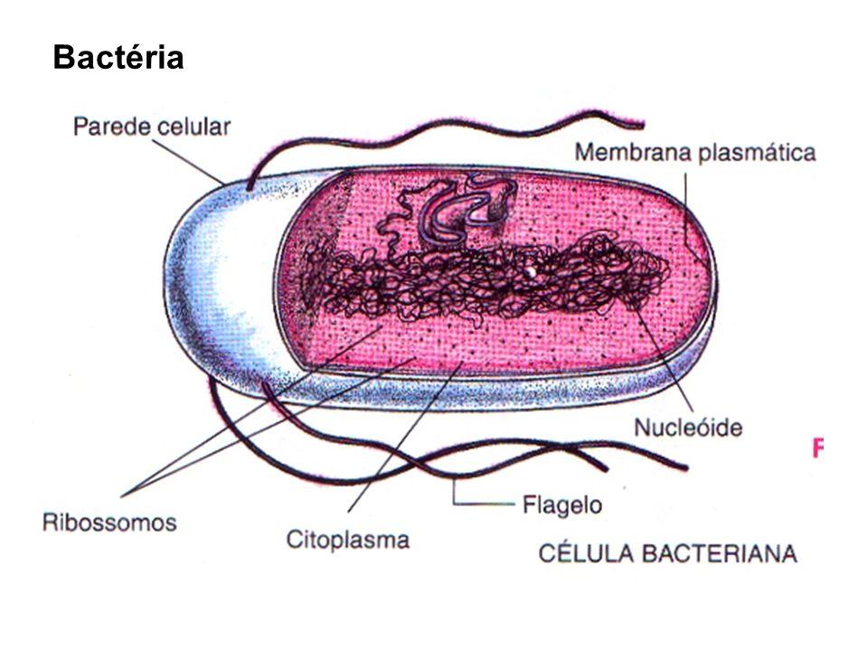 Bactérias: -Assim com os fungos atuam como decompositoras da matéria orgânica morta, transformando os restos dos seres vivos em sais minerais, devolvendo-os para o solo ou para o ambiente aquático (reciclagem da matéria – nada se perde tudo se transforma); -Podem fazer associações mutualísticas, como por exemplo, as bactérias que vivem no estômago dos ruminantes auxiliando na digestão da celulose presente no capim e as bactérias do gênero Rhizobium que se associam às raízes de plantas leguminosas (ex: soja, feijão...) auxiliando na fixação do nitrogênio.