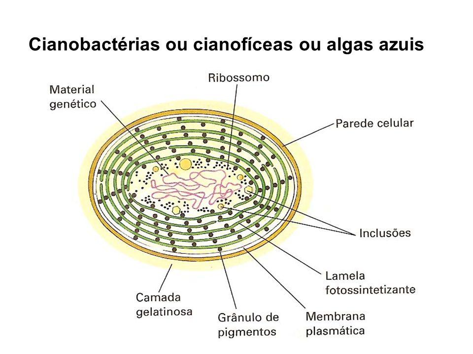 Cianobactérias: - como são organismos fotossintetizantes, contribuem para a reposição de gás O 2 na atmosfera; - Algumas cianofíceas também podem fazer a fixação do gás nitrogênio (N 2 ) atmosférico, contribuindo no ciclo deste gás.
