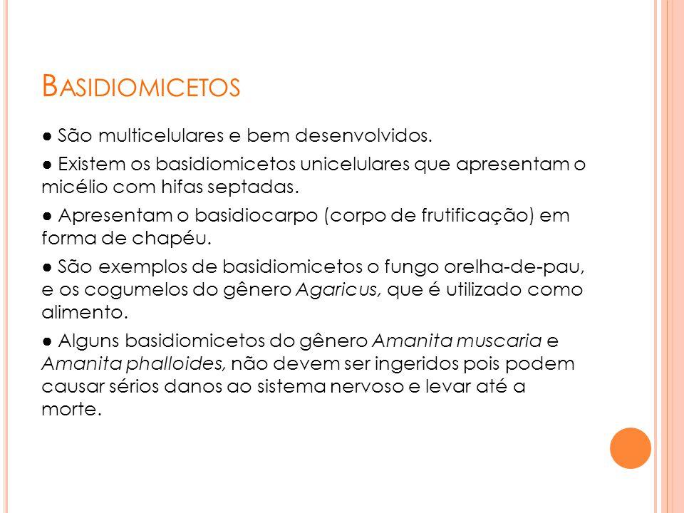 B ASIDIOMICETOS ● São multicelulares e bem desenvolvidos. ● Existem os basidiomicetos unicelulares que apresentam o micélio com hifas septadas. ● Apre