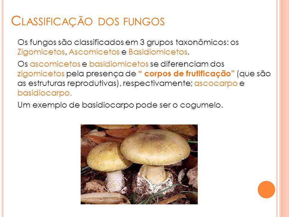 C LASSIFICAÇÃO DOS FUNGOS Os fungos são classificados em 3 grupos taxonômicos: os Zigomicetos, Ascomicetos e Basidiomicetos. Os ascomicetos e basidiom