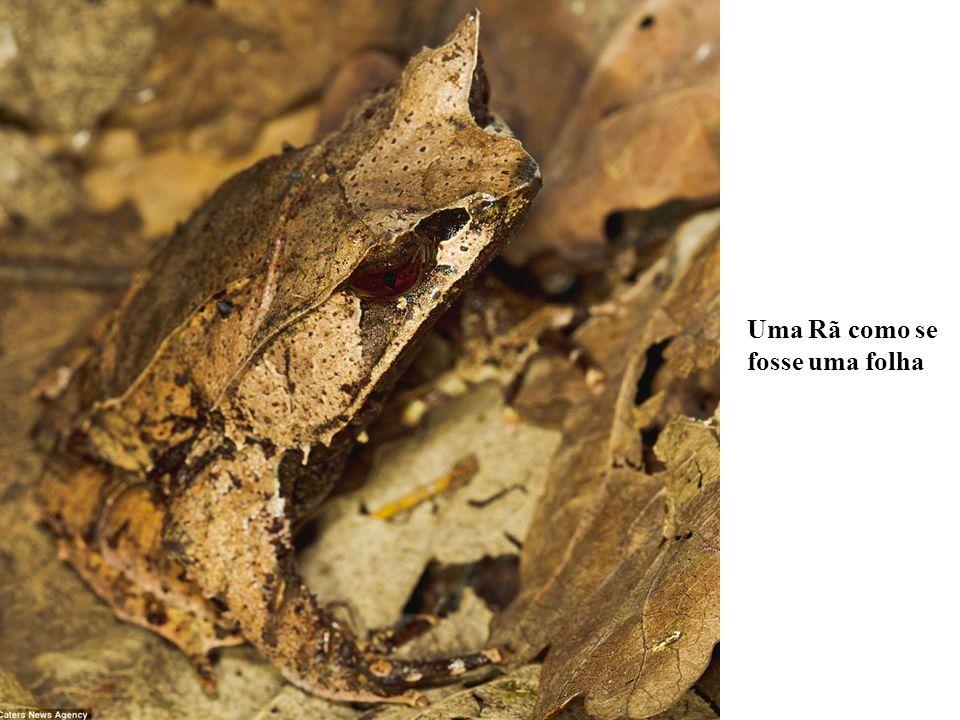 Costa-Rica : É muito difícil ver este Katydid (Grilos), que se mistura muito bem com a folhagem que cobre o solo