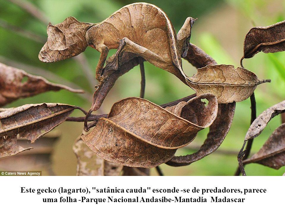 Este gecko (lagarto), satânica cauda esconde -se de predadores, parece uma folha -Parque Nacional Andasibe-Mantadia Madascar