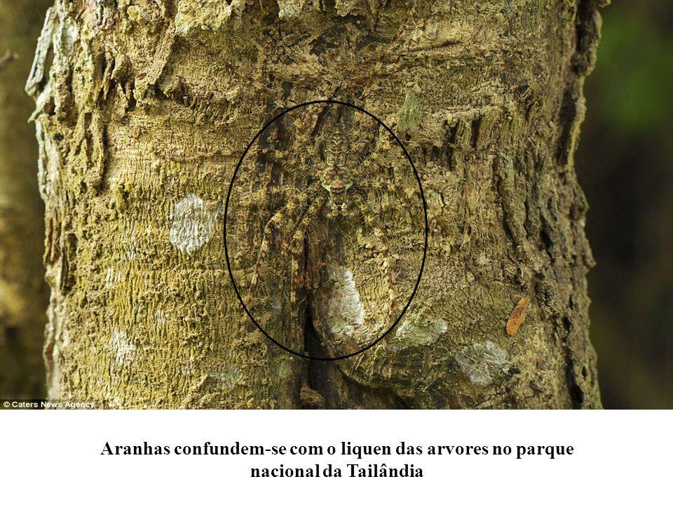 Aranhas confundem-se com o liquen das arvores no parque nacional da Tailândia