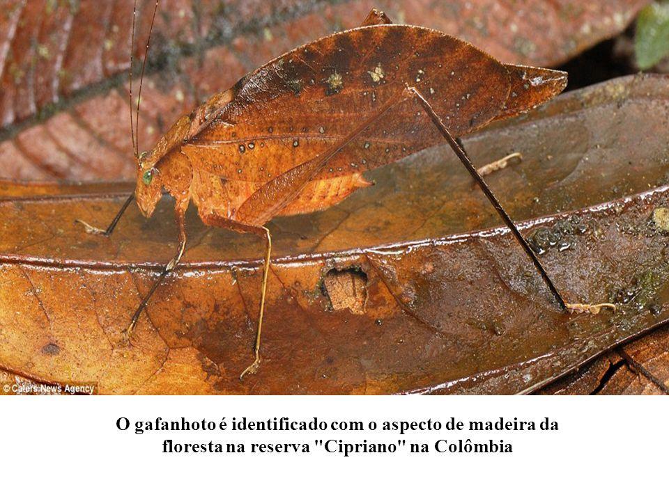 O gafanhoto é identificado com o aspecto de madeira da floresta na reserva Cipriano na Colômbia