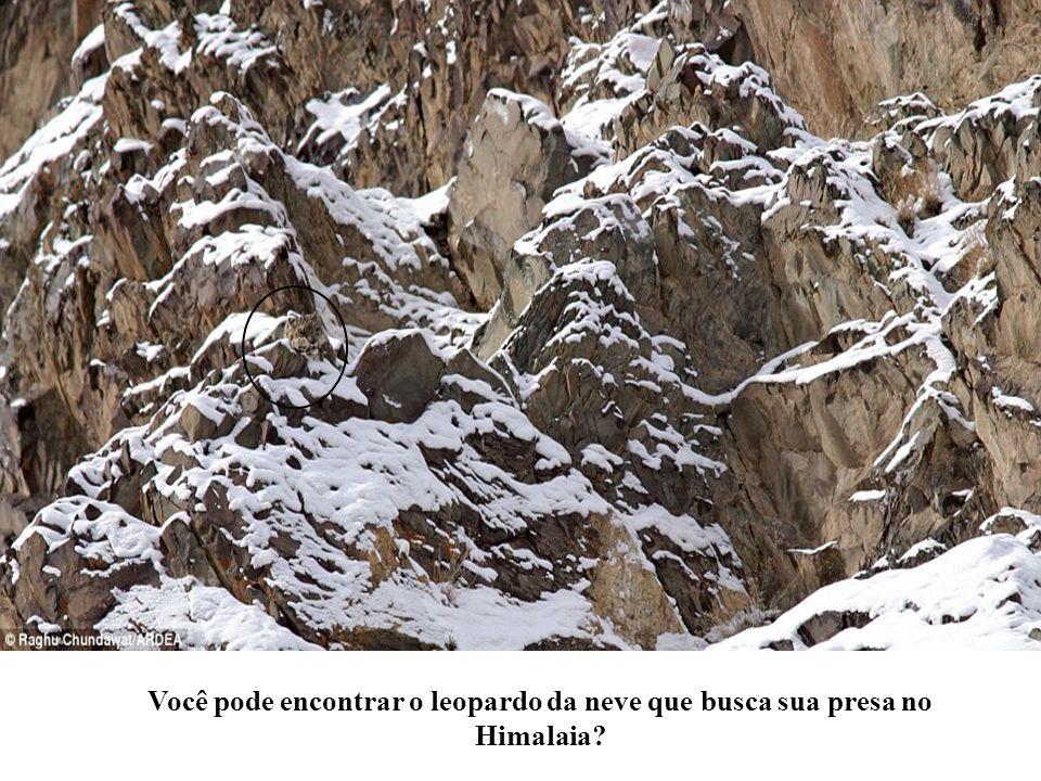 Você pode encontrar o leopardo da neve que busca sua presa no Himalaia?