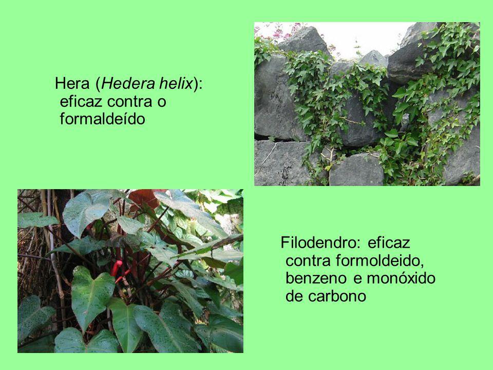 Filodendro: eficaz contra formoldeido, benzeno e monóxido de carbono Hera (Hedera helix): eficaz contra o formaldeído