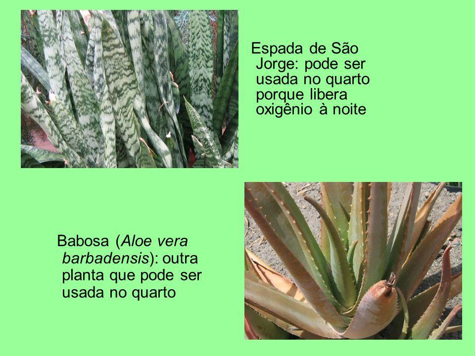 Espada de São Jorge: pode ser usada no quarto porque libera oxigênio à noite Babosa (Aloe vera barbadensis): outra planta que pode ser usada no quarto