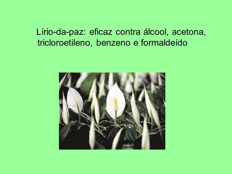 Lírio-da-paz: eficaz contra álcool, acetona, tricloroetileno, benzeno e formaldeído