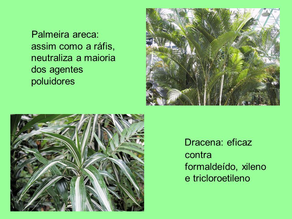 Palmeira areca: assim como a ráfis, neutraliza a maioria dos agentes poluidores Dracena: eficaz contra formaldeído, xileno e tricloroetileno