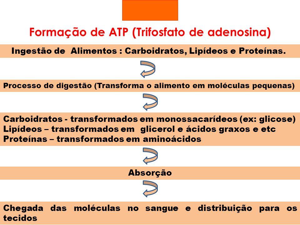 Formação de ATP (Trifosfato de adenosina) Processo de digestão (Transforma o alimento em moléculas pequenas) Carboidratos - transformados em monossaca