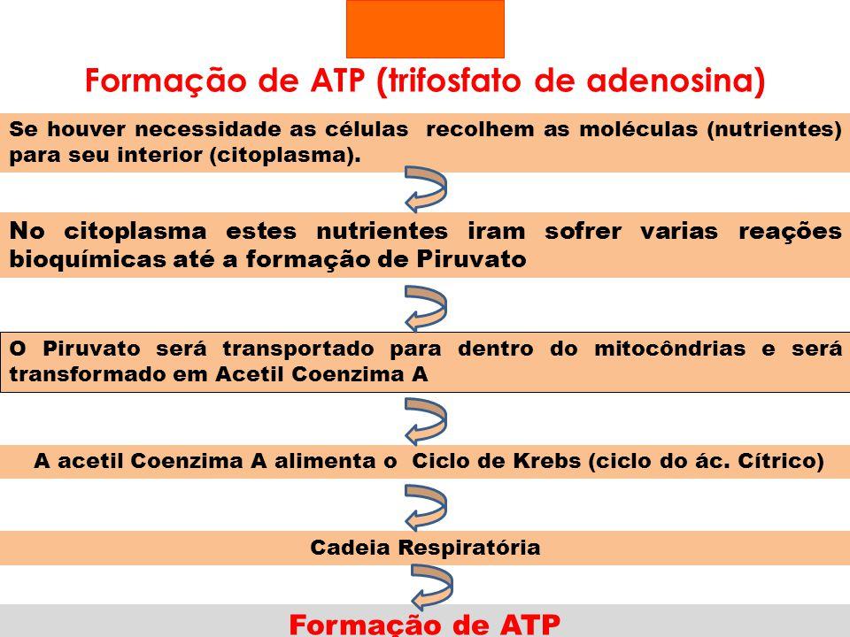 Formação de ATP (trifosfato de adenosina) Se houver necessidade as células recolhem as moléculas (nutrientes) para seu interior (citoplasma). No citop
