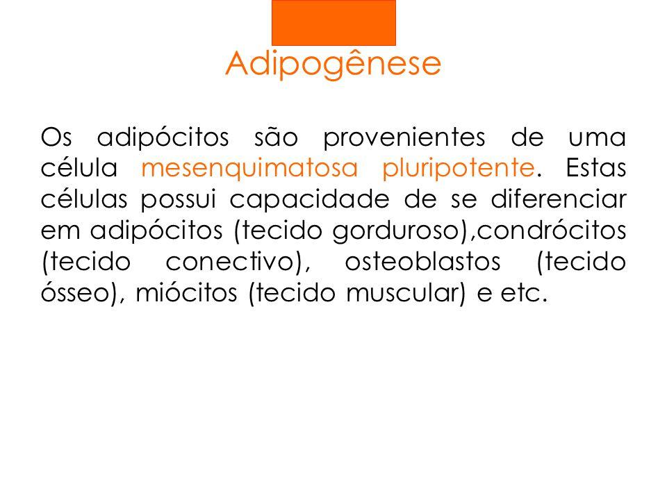 Adipogênese Os adipócitos são provenientes de uma célula mesenquimatosa pluripotente. Estas células possui capacidade de se diferenciar em adipócitos