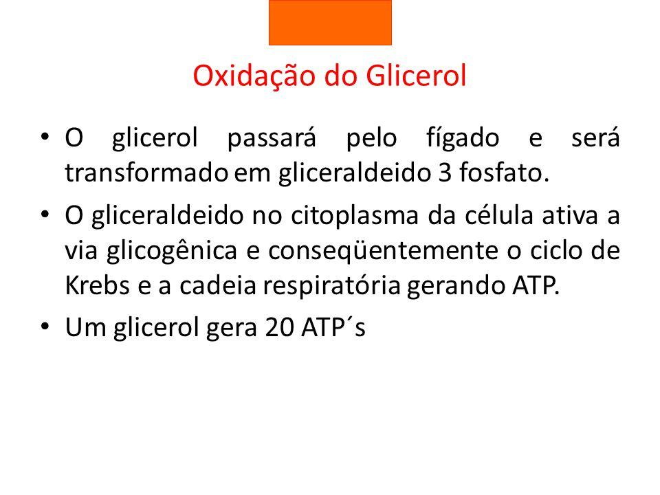 Oxidação do Glicerol O glicerol passará pelo fígado e será transformado em gliceraldeido 3 fosfato. O gliceraldeido no citoplasma da célula ativa a vi
