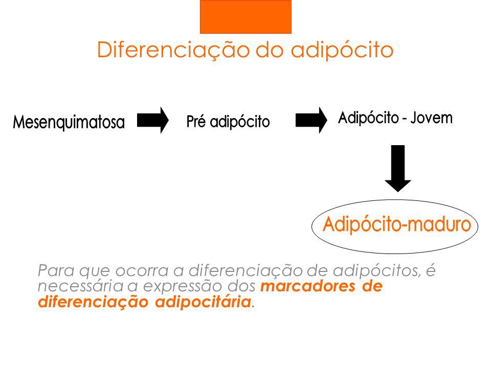 Quebra de gordura Os triglicerídeos armazenados sofrem lipólise e as moléculas de ác.