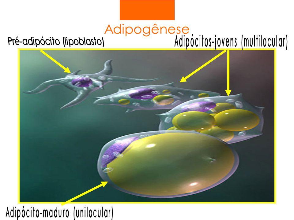 Adipogênese