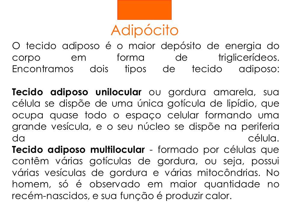 Adipócito O tecido adiposo é o maior depósito de energia do corpo em forma de triglicerídeos. Encontramos dois tipos de tecido adiposo: Tecido adiposo