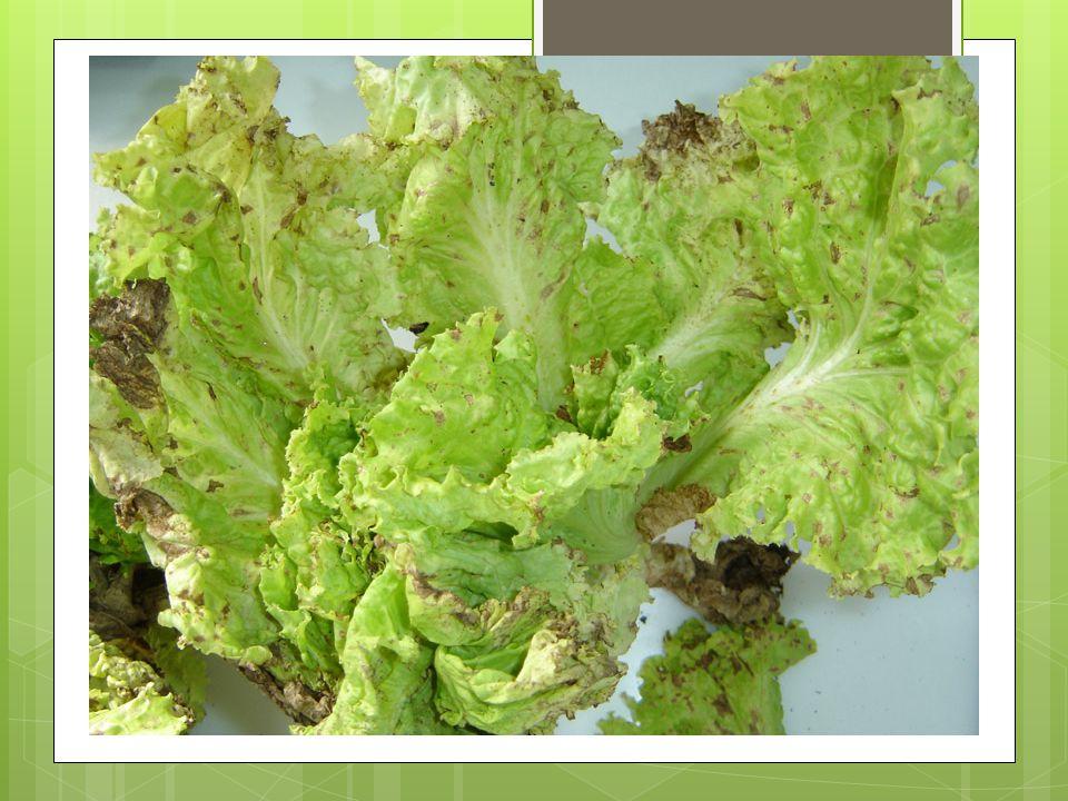 Septoria lactucae Passerini Fungo – Classe Deuteromiceto Ordem – Sphaeropsidales Família – Sphaeropsidaceae