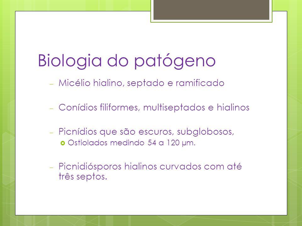 Biologia do patógeno – Micélio hialino, septado e ramificado – Conídios filiformes, multiseptados e hialinos – Picnídios que são escuros, subglobosos,