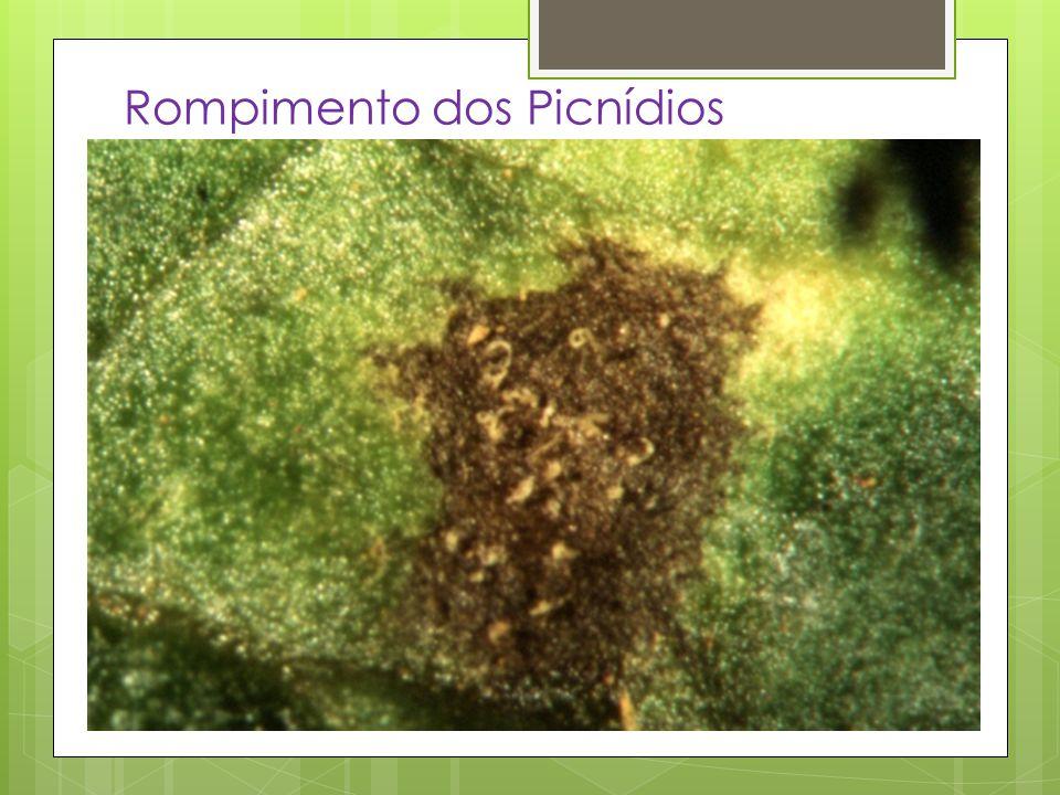 Importância – Causa grandes danos Perda de valor no produto comercial Danos a sementes