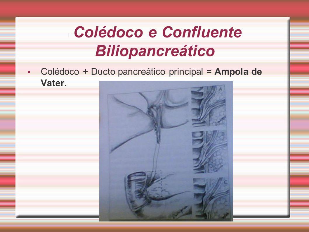 Colédoco e Confluente Biliopancreático  Colédoco + Ducto pancreático principal = Ampola de Vater.