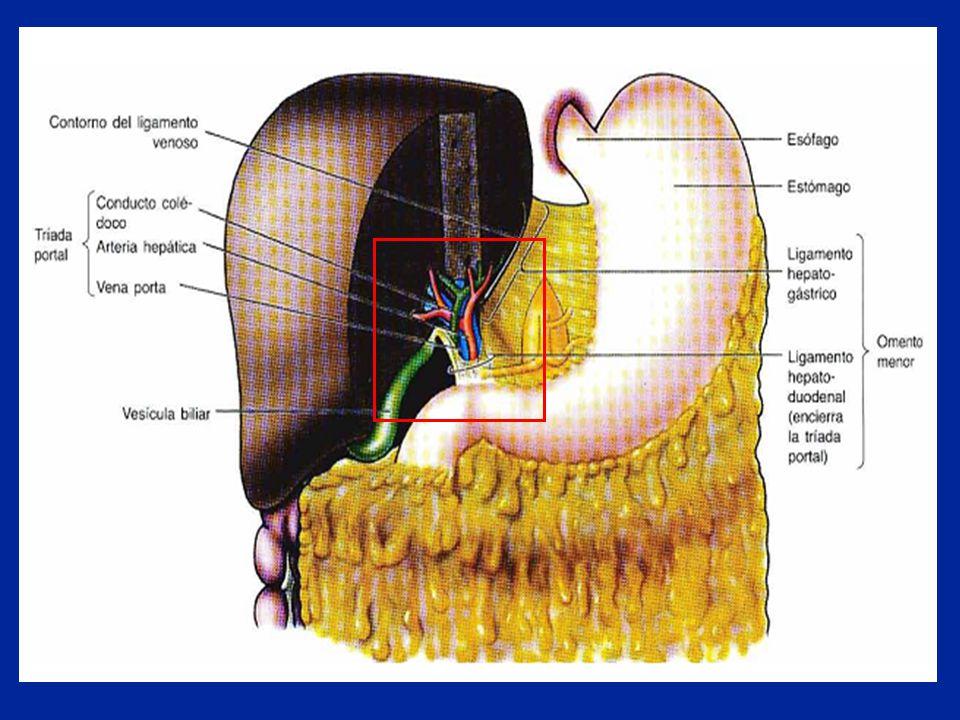 Vascularização Não há ramos venosos e arteriais na face anterior da veia porta e artéria mesentérica superior, respectivamente, o que possibilita a dissecção do colo da glândula, neste nível, com relativa facilidade.