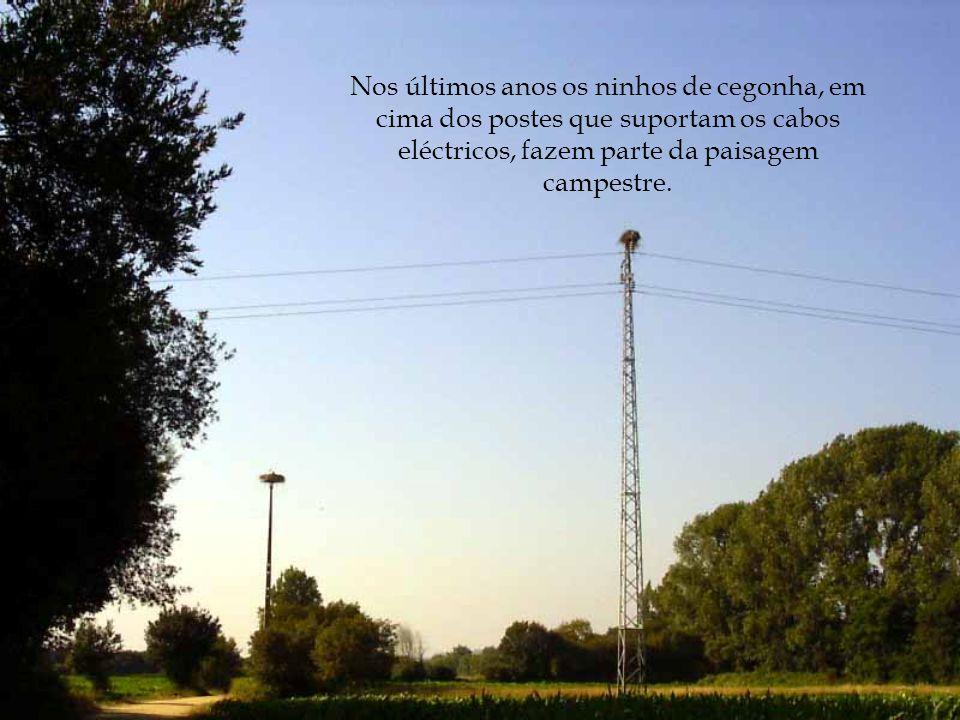 Nos últimos anos os ninhos de cegonha, em cima dos postes que suportam os cabos eléctricos, fazem parte da paisagem campestre.