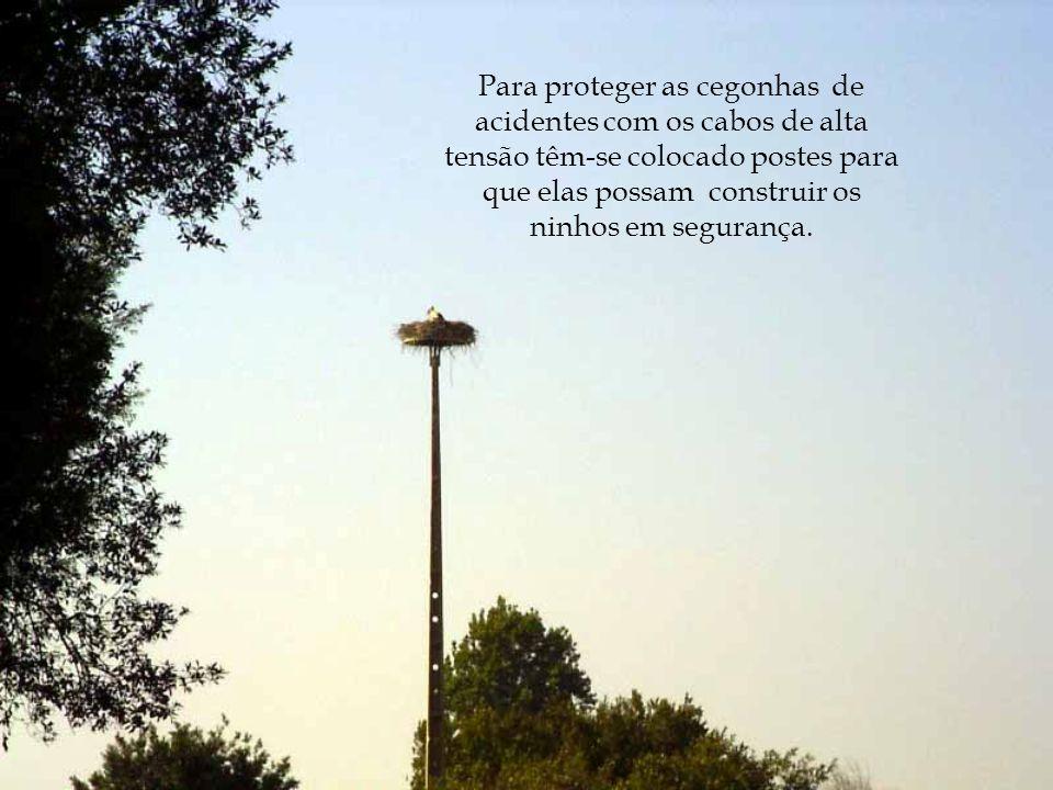 Para proteger as cegonhas de acidentes com os cabos de alta tensão têm-se colocado postes para que elas possam construir os ninhos em segurança.