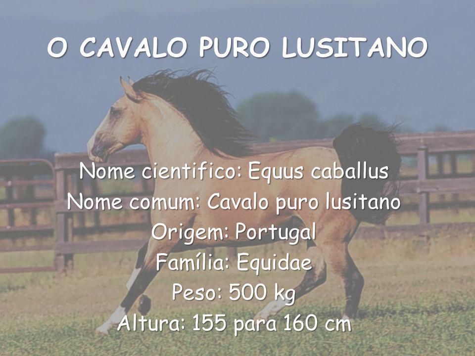 O CAVALO PURO LUSITANO Nome cientifico: Equus caballus Nome comum: Cavalo puro lusitano Origem: Portugal Família: Equidae Peso: 500 kg Altura: 155 para 160 cm