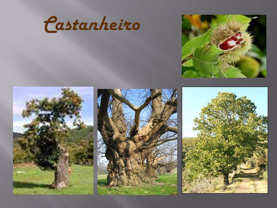  As azinheiras (Quercus ilex), também conhecidas como Carvalho, são árvores que chegam a medir até 10 metros, da família das fagáceas.Carvalhofamília