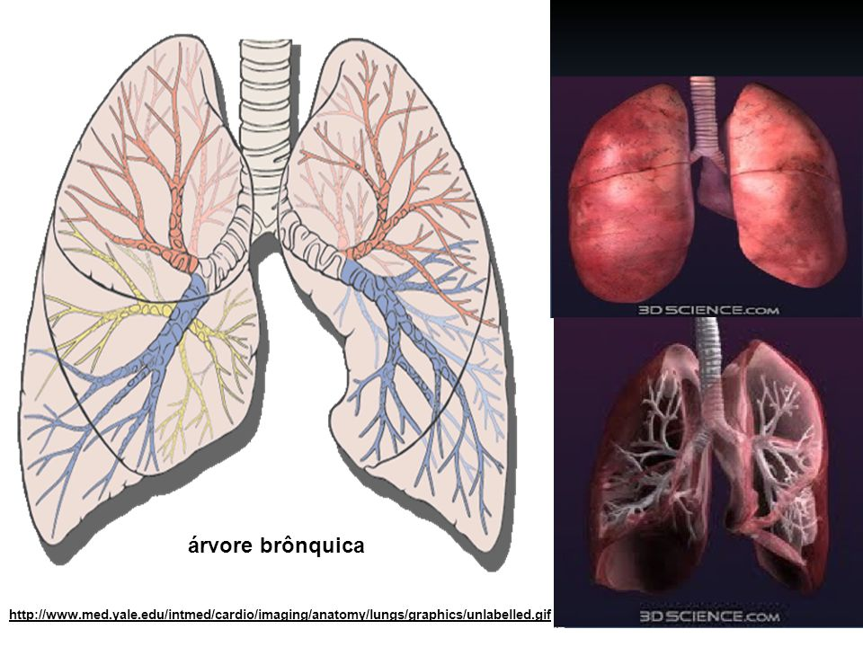 http://www.med.yale.edu/intmed/cardio/imaging/anatomy/lungs/graphics/unlabelled.gif árvore brônquica