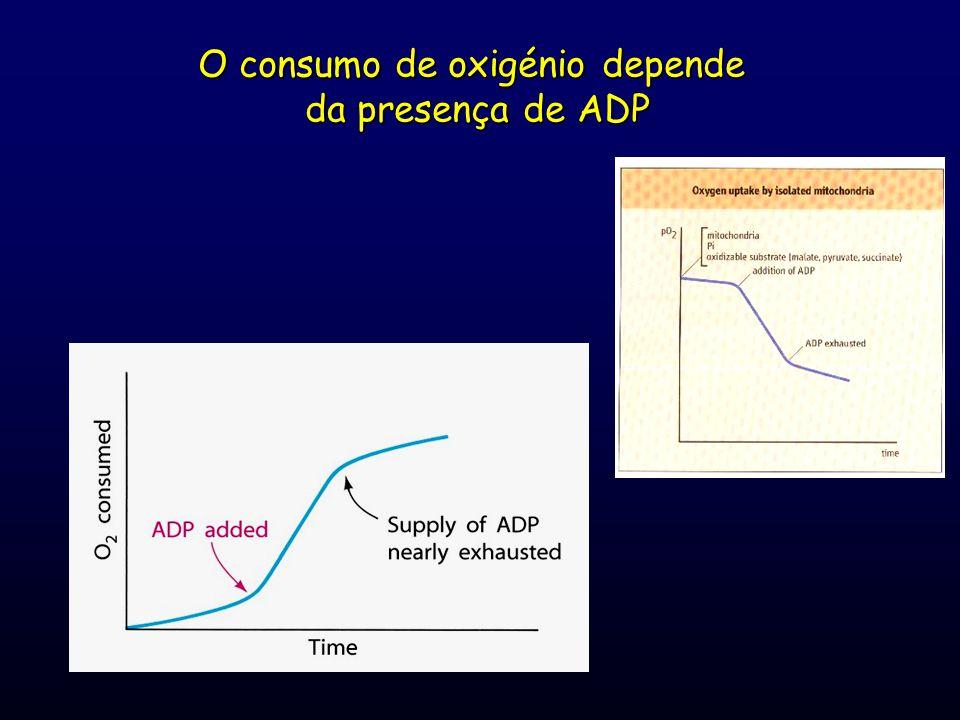 O consumo de oxigénio depende da presença de ADP
