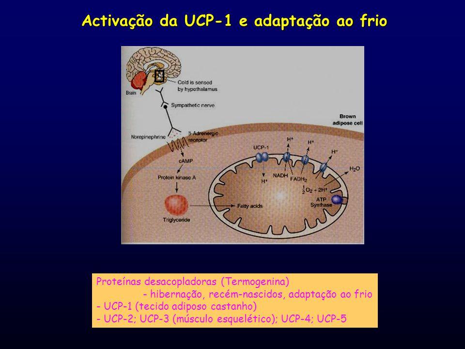 Activação da UCP-1 e adaptação ao frio Proteínas desacopladoras (Termogenina) - hibernação, recém-nascidos, adaptação ao frio - UCP-1 (tecido adiposo