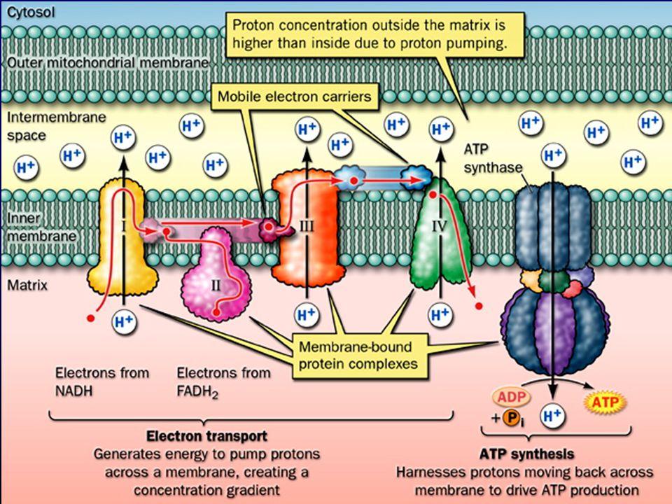 Utilização do gradiente protónico para a síntese de ATP Espaço intermembranar Potencial membrana mitocondrial (  m ) elevado (-180 mV) Gradiente de protões + Potencial eléctrico  Força 'proto-motriz'