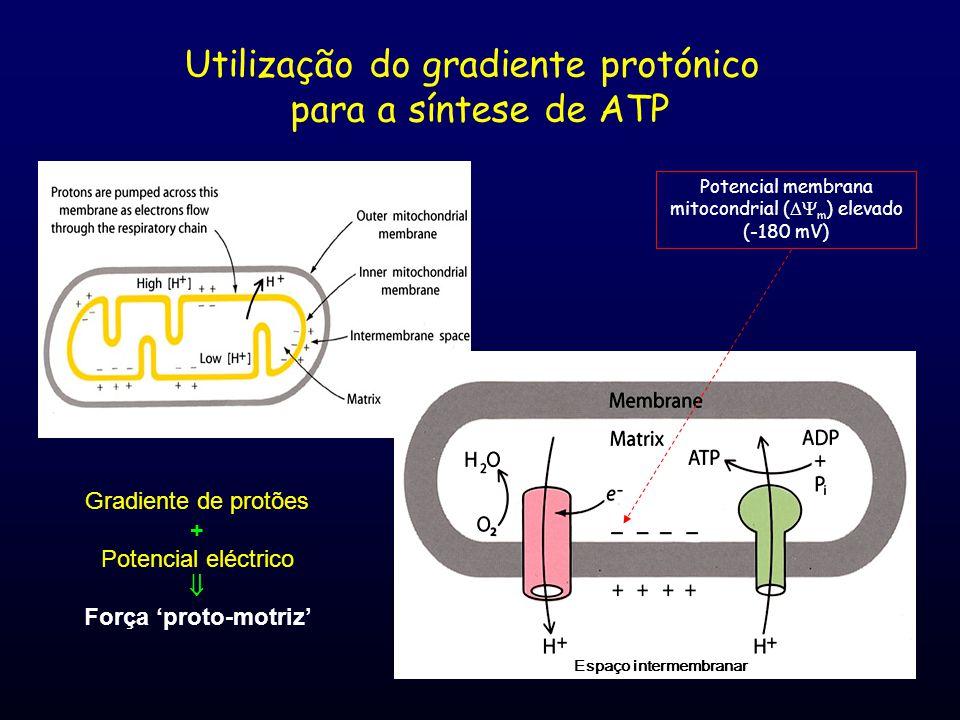 Utilização do gradiente protónico para a síntese de ATP Espaço intermembranar Potencial membrana mitocondrial (  m ) elevado (-180 mV) Gradiente de