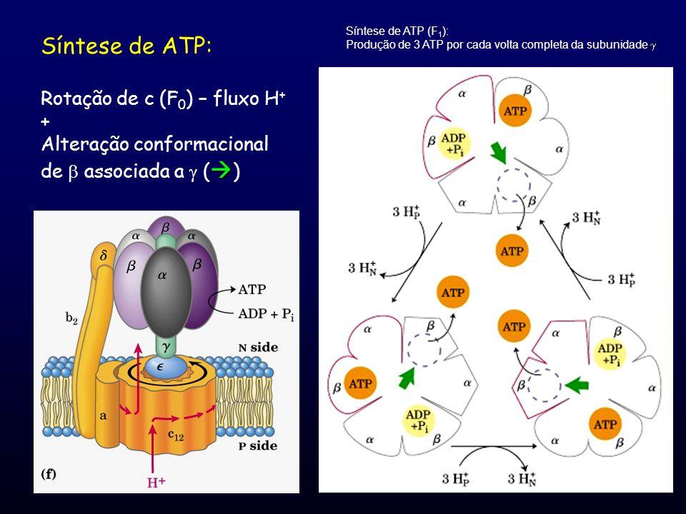 Síntese de ATP: Rotação de c (F 0 ) – fluxo H + + Alteração conformacional  de  associada a  (  ) Síntese de ATP (F 1 ): Produção de 3 ATP por cad