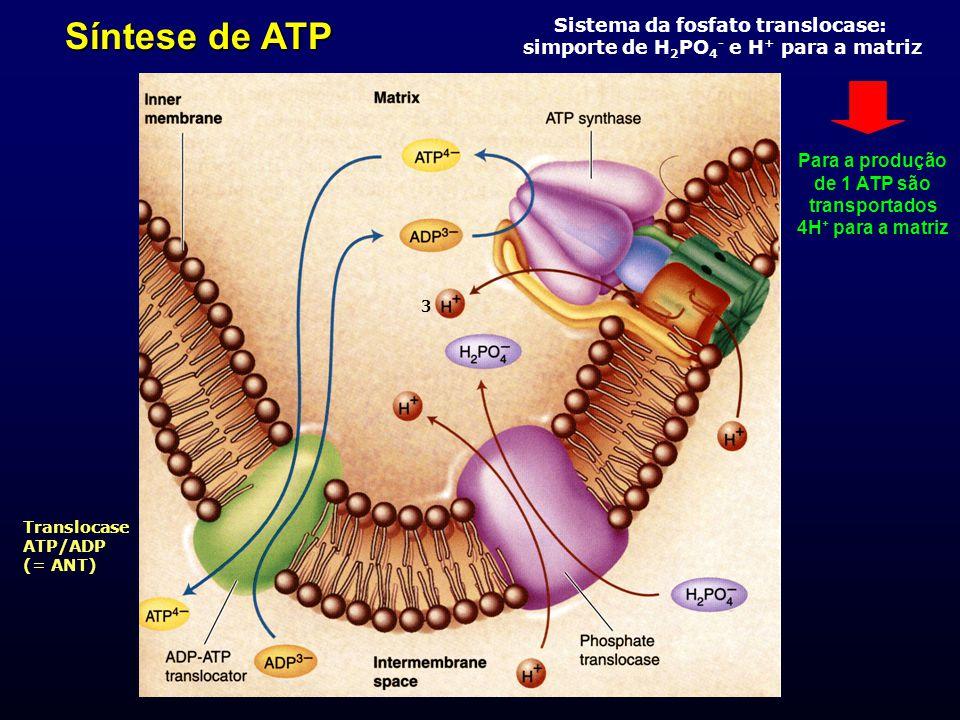 Síntese de ATP Translocase ATP/ADP (= ANT) Sistema da fosfato translocase: simporte de H 2 PO 4 - e H + para a matriz Para a produção de 1 ATP são tra