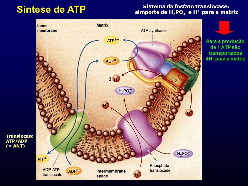 Molecular Cell Biology 4.0 1603 (síntese ATP)